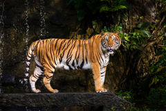 Tigre tra l'India e la Cina Immagine Stock