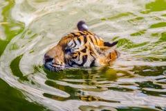 Tigre tra l'India e la Cina Immagine Stock