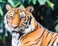 Tigre tra l'India e la Cina in zoo Fotografie Stock Libere da Diritti