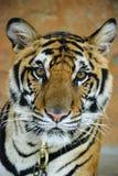 Tigre triste Fotografie Stock Libere da Diritti