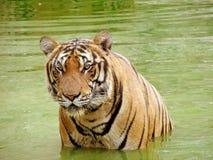 Tigre in un'acqua Immagini Stock Libere da Diritti