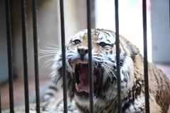 Tigre in una gabbia Fotografia Stock