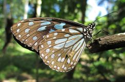 Tigre vitreux bleu Photographie stock libre de droits