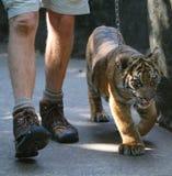 Tigre y controlador de bebé Foto de archivo libre de regalías