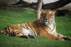 Tigre y x28; tiger& x29 de Bengala; foto de archivo libre de regalías