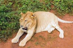 Tigreo van Panthera Stock Afbeeldingen