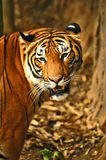 Tigres Photos stock