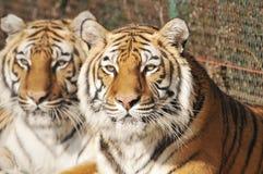 Tigres Fotos de Stock