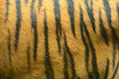 Tigres Foto de archivo libre de regalías