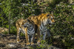Tigres Photographie stock