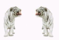 Tigres. Imagens de Stock