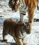 Tigres Imagen de archivo