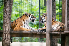 tigres Foto de Stock Royalty Free