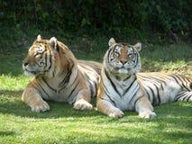 Tigres   Fotografía de archivo libre de regalías