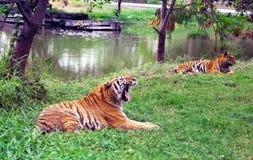 tigres Photos libres de droits