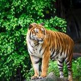 tigres Imagen de archivo libre de regalías