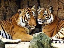tigres Images libres de droits