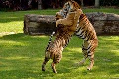 Tigres bengali combattant sur la pelouse d'herbe photographie stock libre de droits