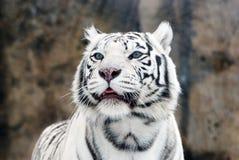 Tigres blancos Imagen de archivo