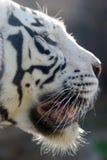 Tigres blancos Foto de archivo