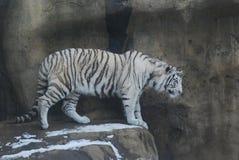 Tigres blancos Fotos de archivo