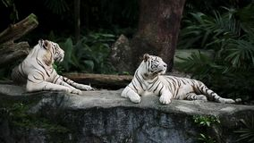 Tigres blancos en parque zoológico metrajes