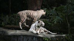 Tigres blancos en parque zoológico almacen de metraje de vídeo