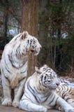 Tigres blancos gemelos Imágenes de archivo libres de regalías