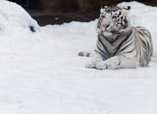 Tigres blancs Photo libre de droits