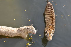 Tigres blancs et oranges Photo stock