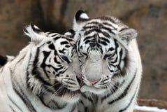 Tigres brancos Fotografia de Stock Royalty Free