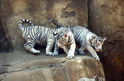 Tigres brancos Imagens de Stock Royalty Free
