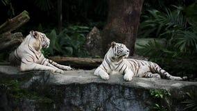 Tigres brancos no jardim zoológico filme