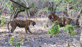 Tigres combattant après accouplement Photographie stock