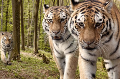 Tigres curiosos en el bosque Imágenes de archivo libres de regalías