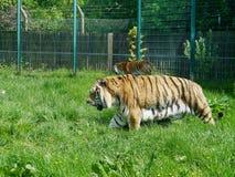 Tigres dans le composé de zoo photos libres de droits