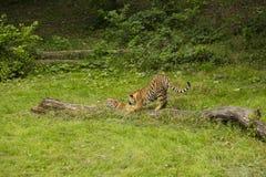 Tigres de Amur imagen de archivo libre de regalías