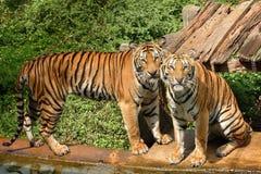 Tigres de Bengala. Foto de archivo libre de regalías