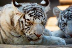 Tigres de Bengala blancos jovenes fotografía de archivo libre de regalías