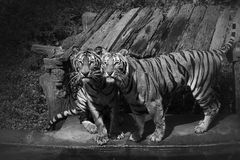 Tigres de Bengale. Image stock