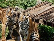 Tigres de Bengale. Photographie stock