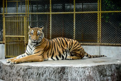 Tigres de Bengale dans le zoo photo stock