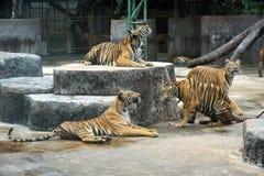 Tigres de Bengale dans le zoo photos libres de droits