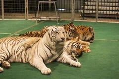 Tigres de descanso Imagens de Stock Royalty Free
