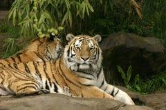 Tigres de reclinación Imagenes de archivo