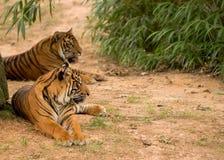 Tigres de reclinación. Imágenes de archivo libres de regalías