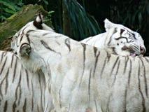 Tigres del blanco de Bengala Imagen de archivo