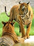 tigres deux Image libre de droits