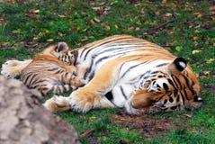 Tigres el dormir Foto de archivo libre de regalías