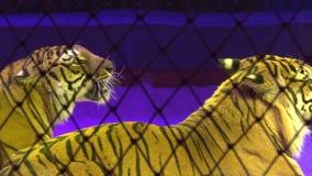 Tigres em uma gaiola circus Predador perigoso filme